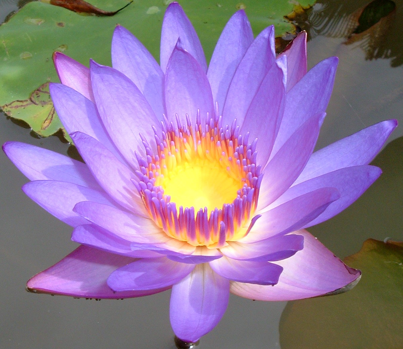 Lotus flower enkindle wellness lotus flower mightylinksfo